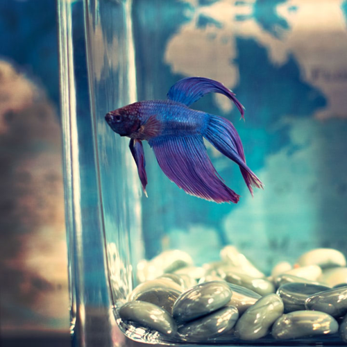 How to move your pet fish safely