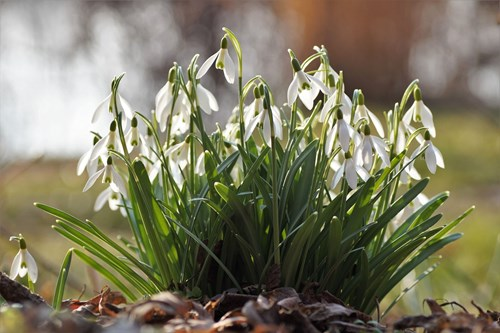 how to move your garden - split snowdrop bulbs