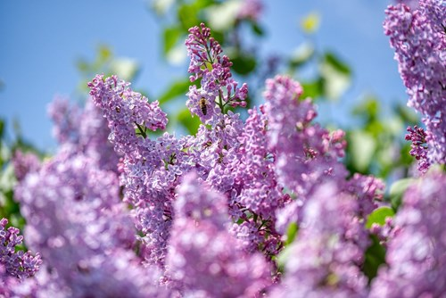 how to move your garden - splice lilac shoots