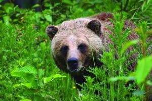 A Canadian brown bear